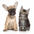 French bulldog and kitten posing together on white background