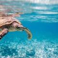 Image: iStock. Hawksbill sea turtle swimming in Indian ocean in Seychelles