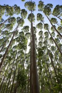 Farmed Trees - Credit Mondi South Africa