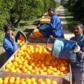 Image: Citrus farmers